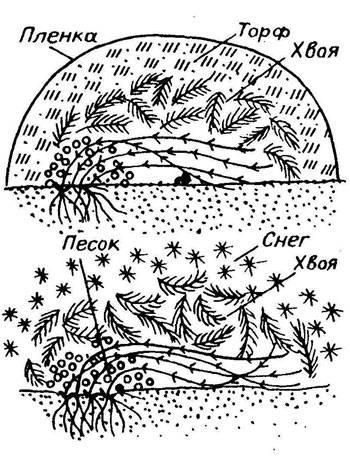 Клематисы: уход осенью и подготовка к зиме