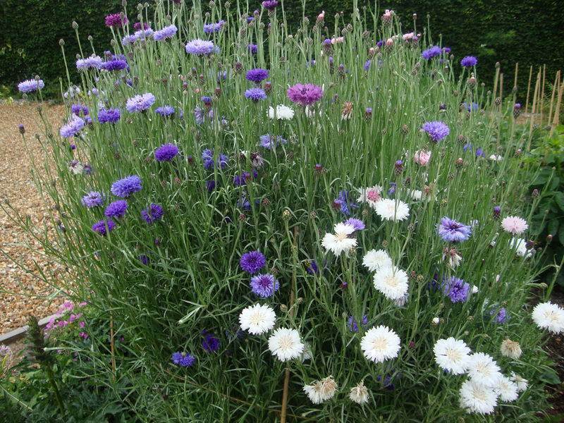 Василек - садовый цветок. посадка, уход и выращивание. описание и виды