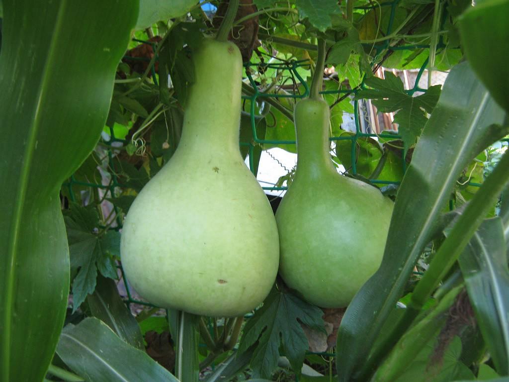 Лагенария (lagenaria) — описание, выращивание, фото | на leplants.ru