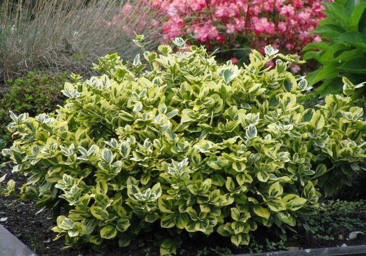 Ползучий бересклет — посадка, уход и выращивание в саду