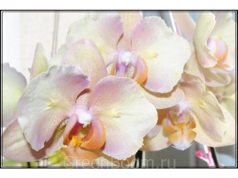 Необычная орхидея фаленопсис бабочка