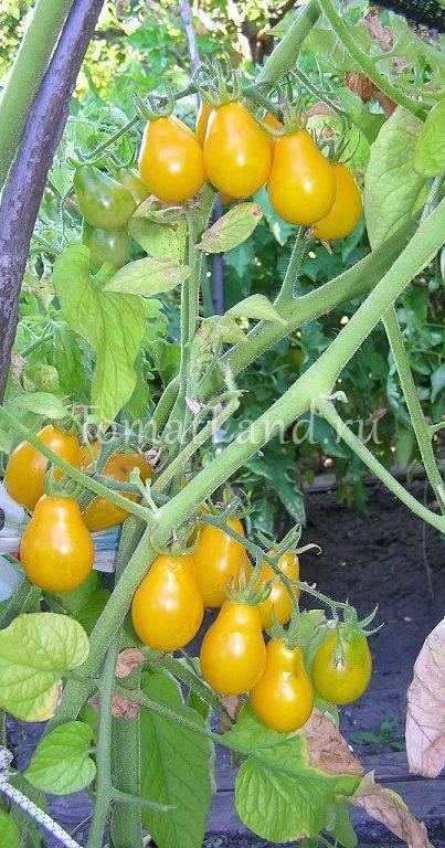 Томат медовая капля: отзывы, фото, урожайность | tomatland.ru