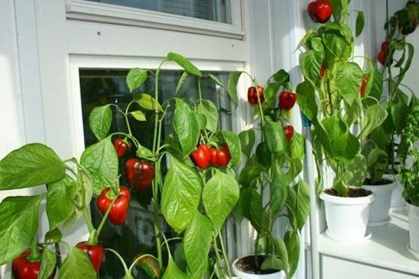 Выращивание острого перца на подоконнике - огород, сад, балкон - медиаплатформа миртесен