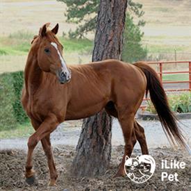 Чистокровная верховая лошадь (английская скаковая): характеристика породы, экстерьер, фото