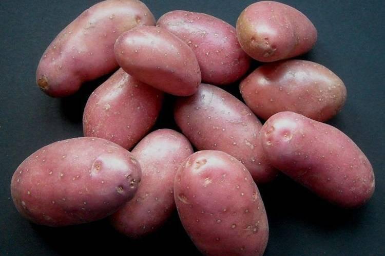 Сорт картофеля лабелла: характеристика, описание с фото, отзывы