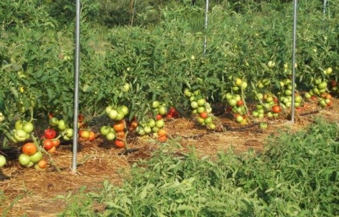 Чем и как опрыскивать помидоры после дождя