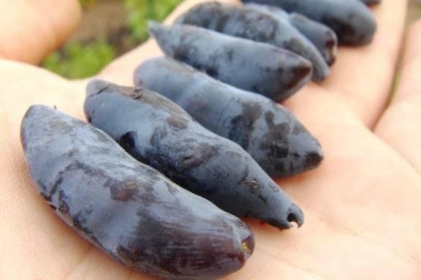 Бакчарская жимолость лучшие сорта