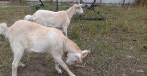 Коза плохо ест и мало дает молока: что делать и причины, правила лечения