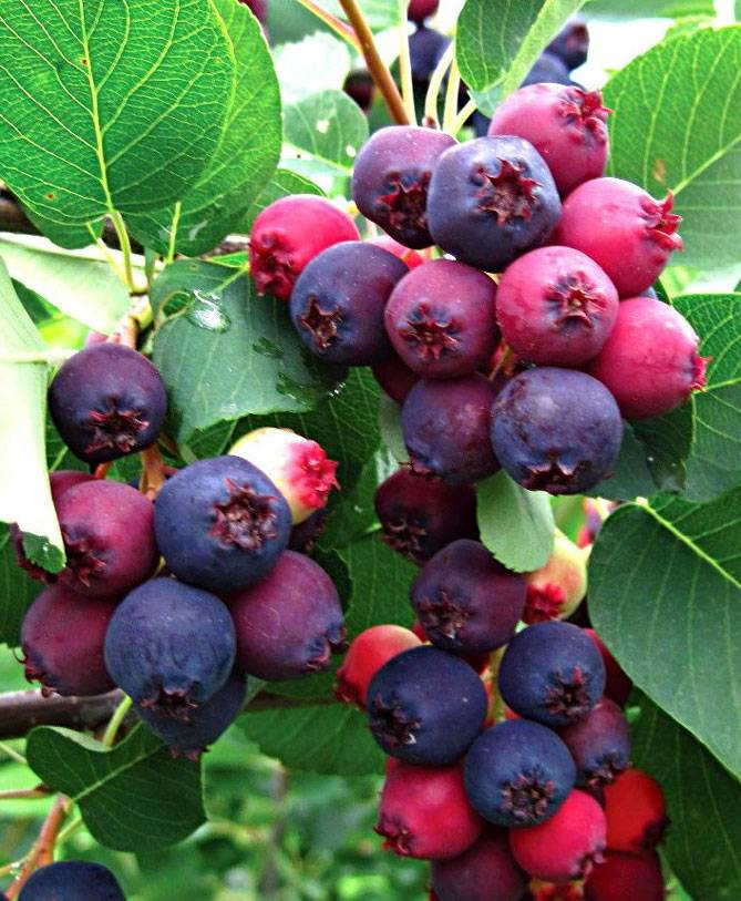 Ирга: выращивание в саду, виды и сорта