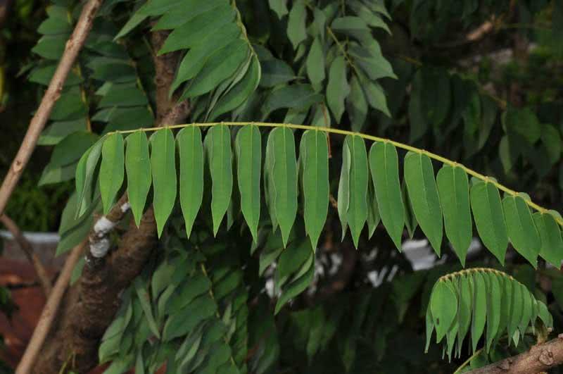 Сумах дерево, его особенности, виды, посадка и уход   сад и огород.ру