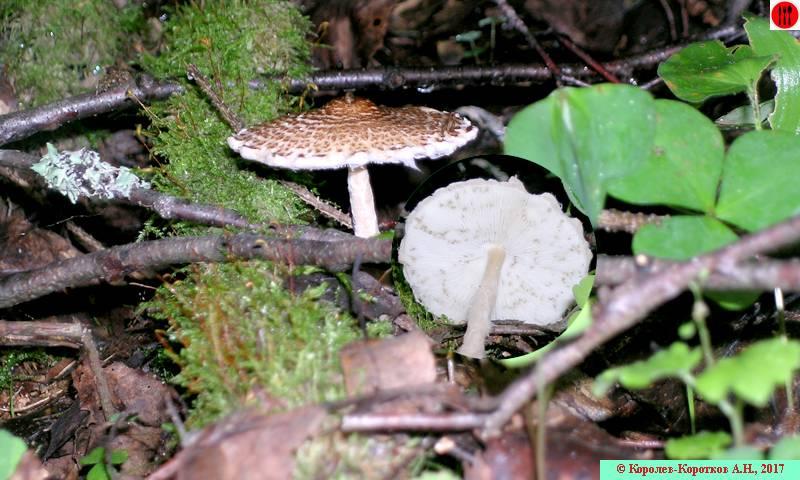Каштановый гриб фото и описание