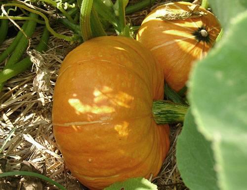 Когда и как сажать тыкву на рассаду: правила и особенности выращивания