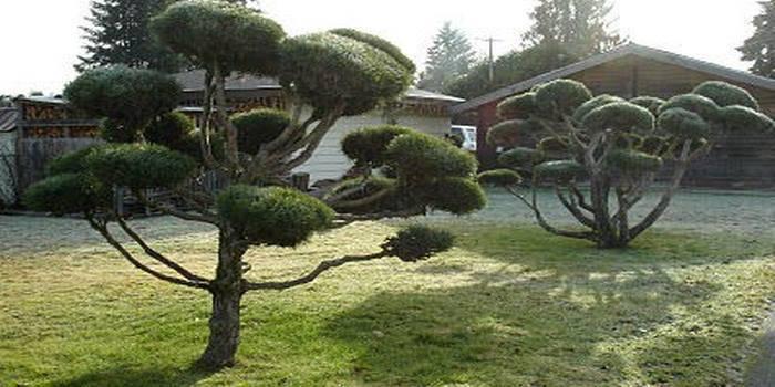 Обрезка сосны - особенности ухода за хвойными деревьями. видео инструкция и 115 фото обрезки сосны