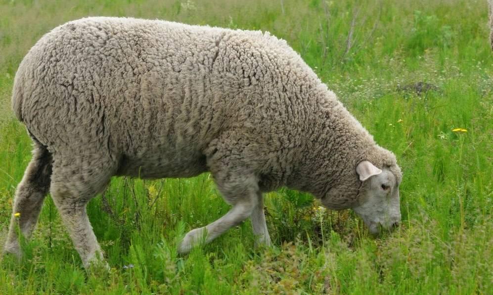 Цигайская овца: характеристики породы, продуктивность