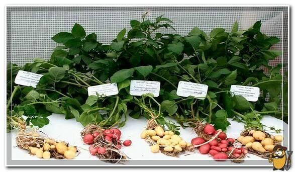 Как вырастить семена картофеля – полная технология