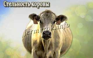 Определение стельности коров
