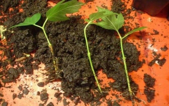 Калина посадка и уход в открытом грунте, выращивание в саду, обрезка и размножение