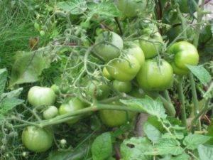 Томат бони мм характеристика и описание сорта, урожайность с фото