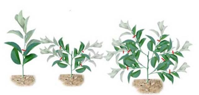 Домашний лимон условия выращивания в горшке, в домашних условиях, размножение растения