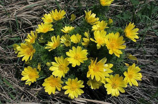 Цветок адонис (весенний, летний): описание, выращивание из семян, особенности ухода