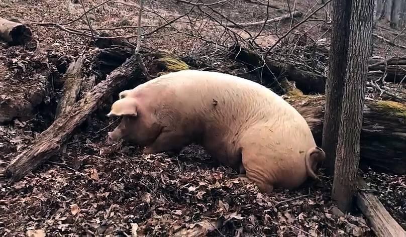 Особенности родов у свиньи