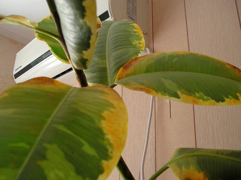 Почему желтеют листья у комнатных растений? что делать, когда у домашних растений желтеют кончики? причины от чего появляются пятна