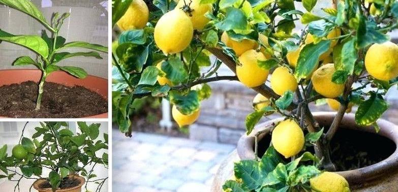 Как посадить лимон правильно, в том числе сроки и регулярность пересадки растения