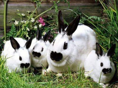 Обзор породы кроликов бабочка: описание, содержание, уход и разведение
