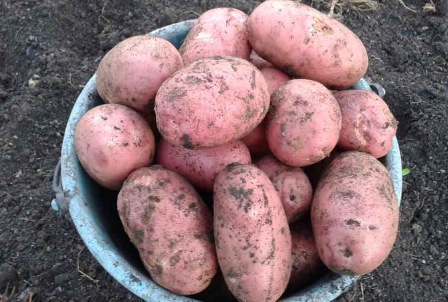 Картофель «венета» —для жаркого климата