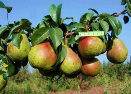 Сорт груши духмяная: полон ароматного урожая