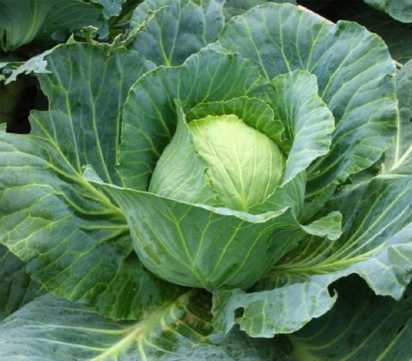 Всё самое важное о выращивании капусты «ринда»