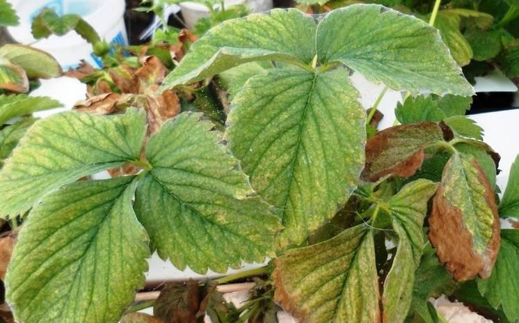 Садовая клубника: болезни и их лечение, вредители и меры борьбы с ними