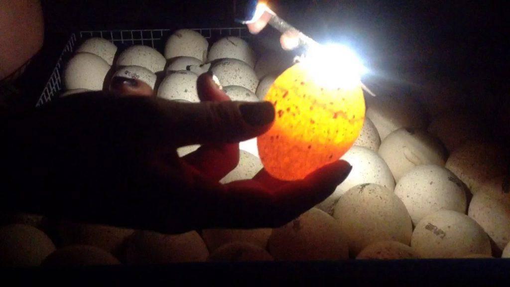 Инкубация яиц по дням: подробное описание каждого дня инкубации