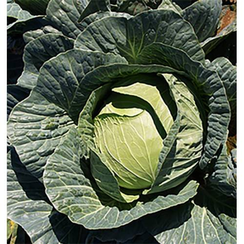 Капуста мензания f1: описание белокочанного сорта и характеристика, фото и отзывы, когда сажать семена из голландии