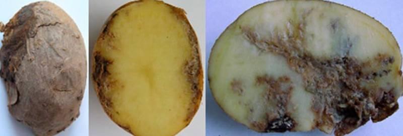 Нематода картофеля: как бороться с ней на огороде? русский фермер