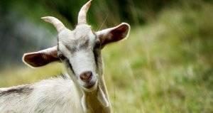 Мастит у козы — симптомы и лечение в домашних условиях