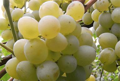 """Виноград """"восторг"""": описание сорта, фото, отзывы"""