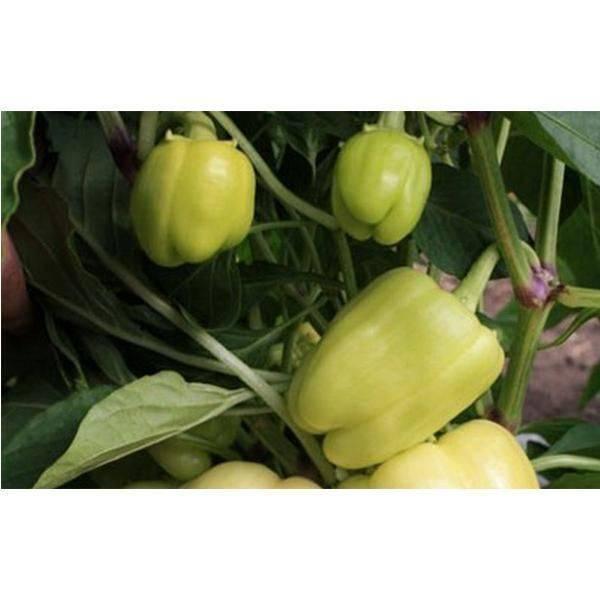 Перец гигант красный f1: отзывы об урожайности, характеристика и описание сладкого болгарского сорта, фото китайских семян от уральского дачника, высота плода