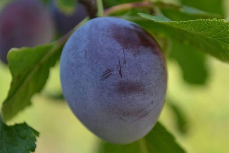 """Слива """"яичная синяя"""": описание сорта и фото, характеристики и особенности выращивания selo.guru — интернет портал о сельском хозяйстве"""