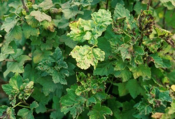 Почему скручиваются листья у черной смородины, чем обработать и как вылечить.