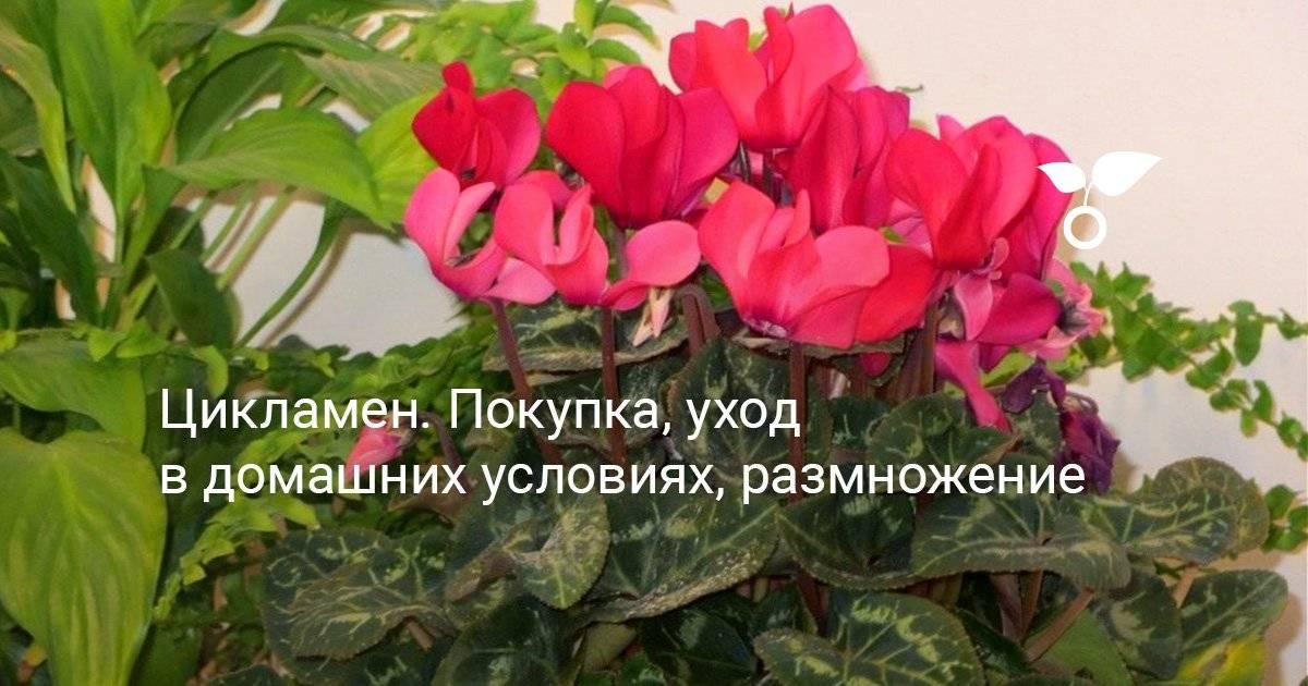 Пересадка цикламена в домашних условиях в другой горшок: когда можно и как пошагово проводить данную процедуру, как разделить цветок, а также фото, уход за растением selo.guru — интернет портал о сельском хозяйстве
