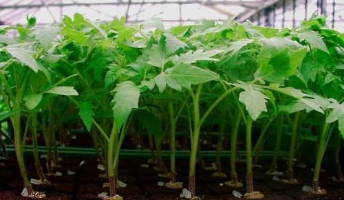 Посадка помидоров: как правильно сажать в открытый грунт и на рассаду, видео