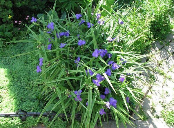 Традесканция садовая в ландшафтном дизайне: выращивание и уход