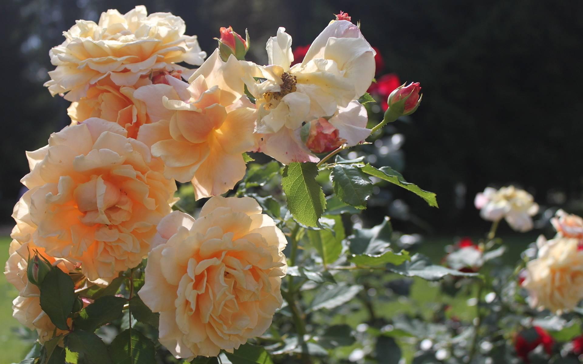 Когда пересаживать розы: осенью или весной