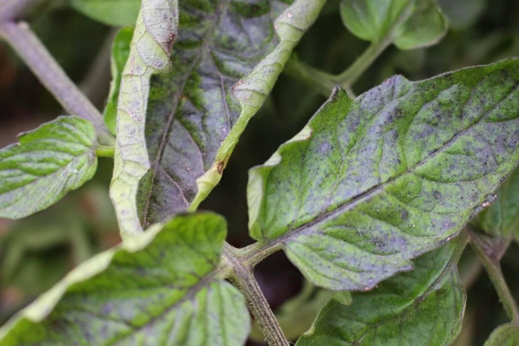 Почему в теплице на помидорах скручиваются листья > что нужно делать для избавления