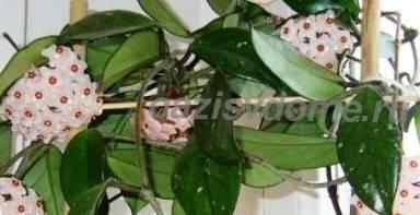 Восковой плющ хойя приносит несчастья? описание растения, приметы, фото - sadovnikam.ru