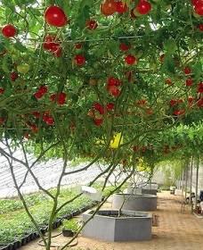 Томатное (помидорное) дерево спрут f1: выращивание в открытом грунте, посадка и уход + отзывы и фото
