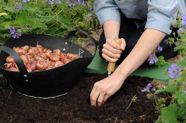 Посадка гладиолусов весной в грунт | красивый дом и сад
