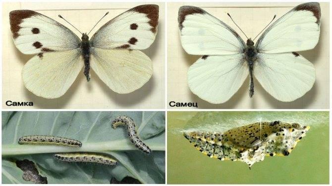Как избавиться от бабочек на капусте. чем опрыскать и как отпугнуть бабочек белянок от капусты   дачная жизнь