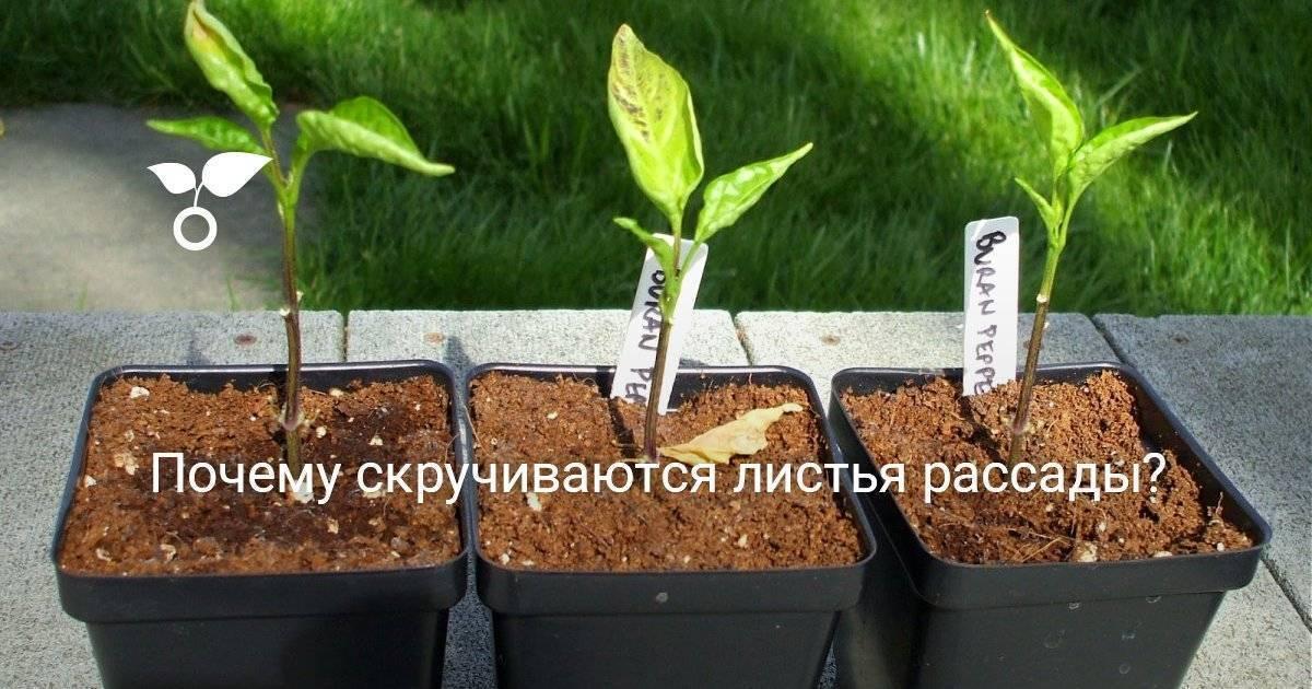 Почему скручиваются листья у баклажанов: причины явления, способы оздоровления